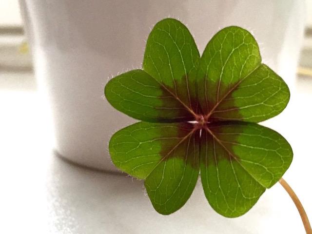 Ein vierblättriges Kleeblatt als Symbol für das Glück der kleinen Dinge