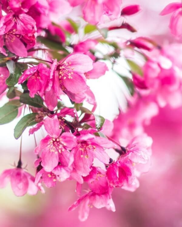 Pinkfarbene Kirschblüten.